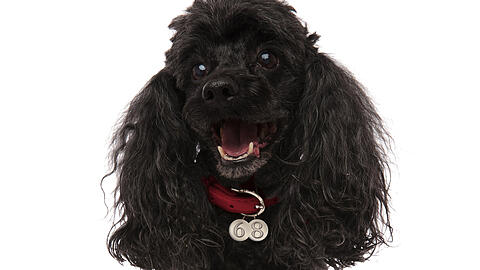 happy black poodle is panting with mouth open